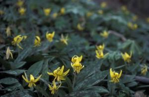 mnoho, žltá, pstruh, ľalia, kvety, špičák, fialová, erythronium, Americanum