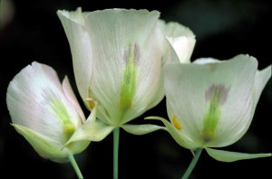 up-close, delicate, sego, lily, pinkish, white, blossoms, flower