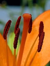primer, lirio, flor, pétalos