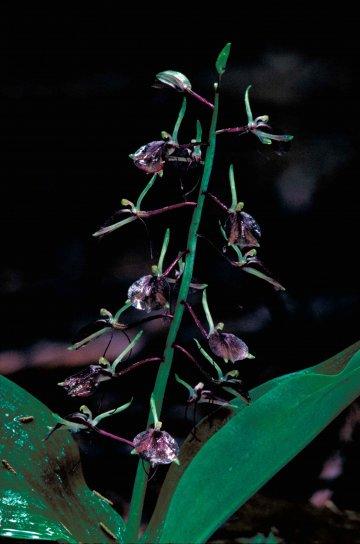 delicada, oscuro, morado, marrón, lirio, con hojas, twayblade, orquídeas, flores, liparis, liliifolia