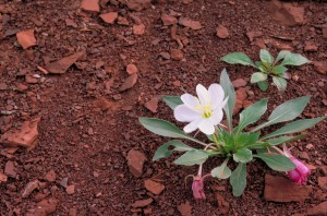 gumbo, lis, fleur, onagre, onagre, caespitosa