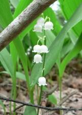 lily, flower, bells