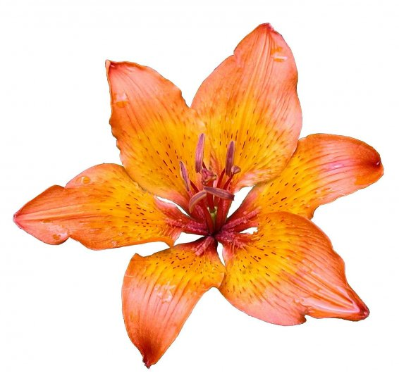 lily, flower, white background