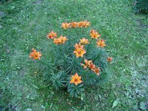 lys, fleurs, jardin