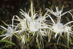 araignée, lis, plantes, fleurs blanches, Higanbana