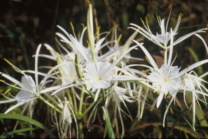 kostenlose bild spinne lilien pflanzen higanbana. Black Bedroom Furniture Sets. Home Design Ideas