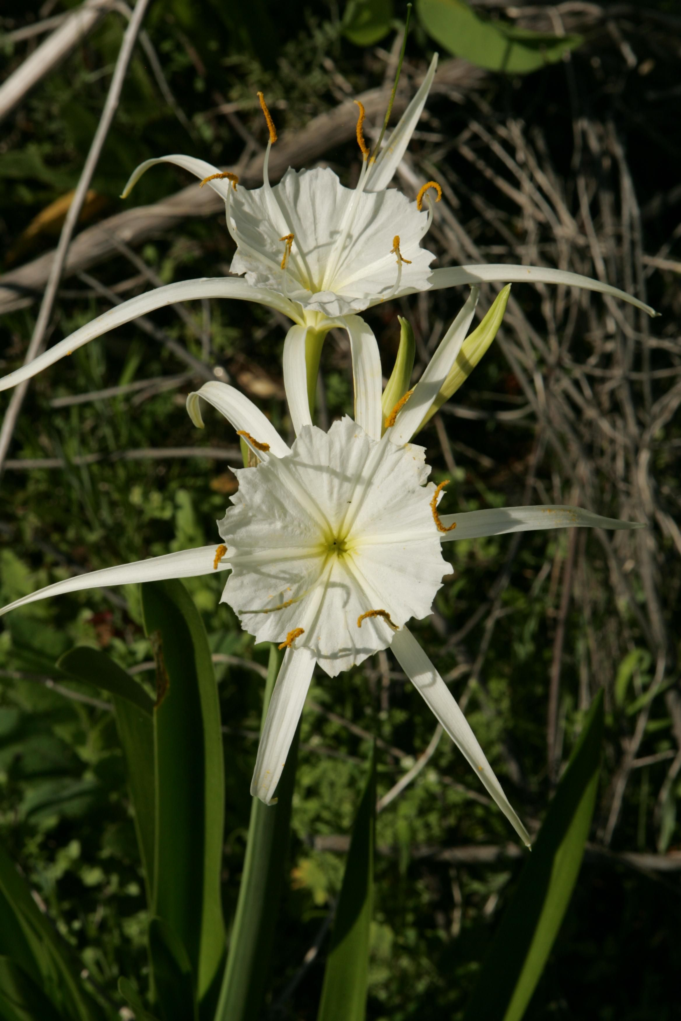Free picture spider lily blossoms spider lily blossoms izmirmasajfo Image collections