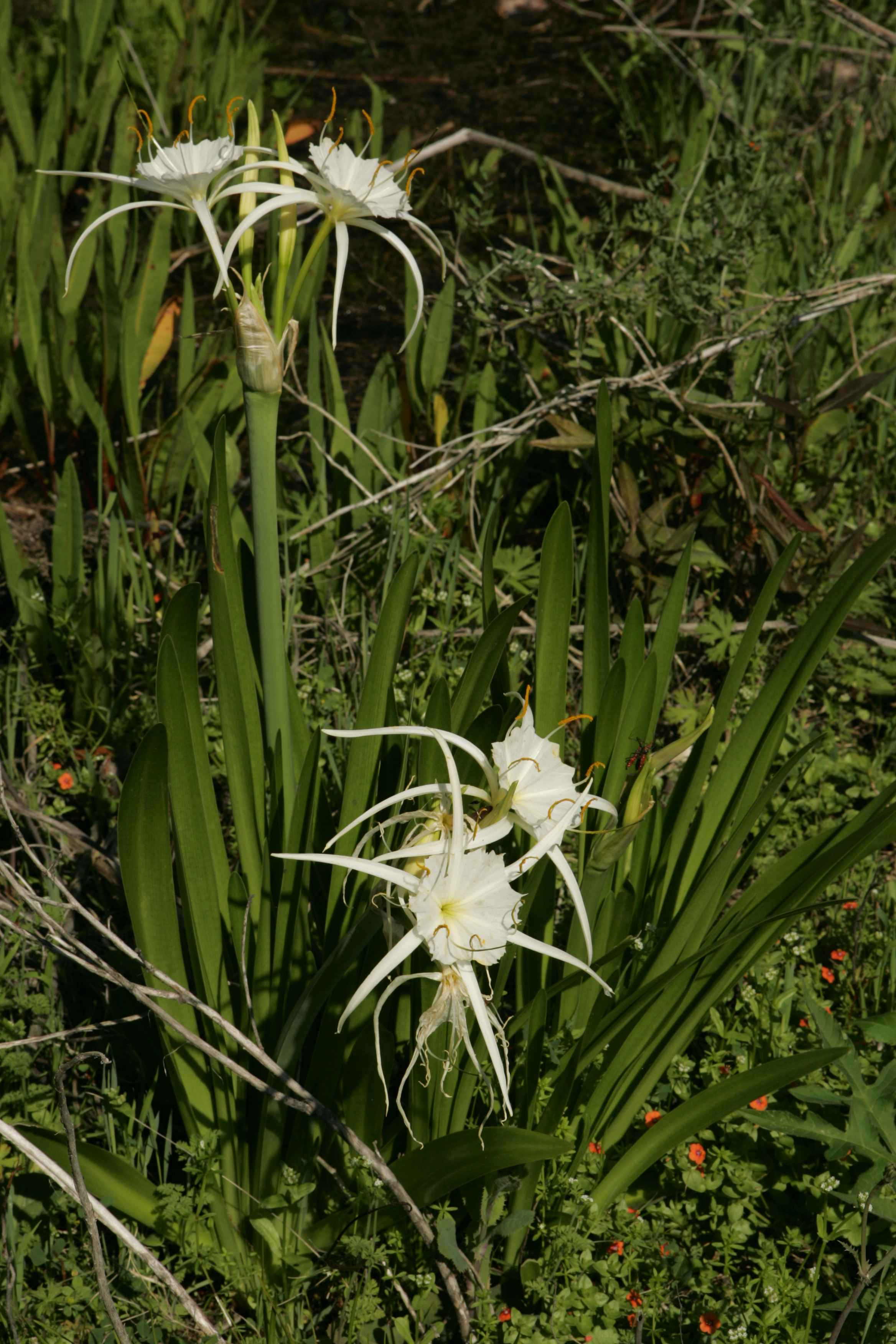 Free picture spider lily plant hymenocallis lirosme leaves spider lily plant hymenocallis lirosme leaves several flowers izmirmasajfo