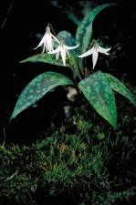 trois, blanc, truite, lys, fleurs, fleurs, feuilles vertes, Erythronium, albidum