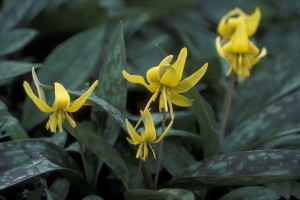 trout, lily, plant, erythronium, Americanum, yellow flowers, dark, green leaves