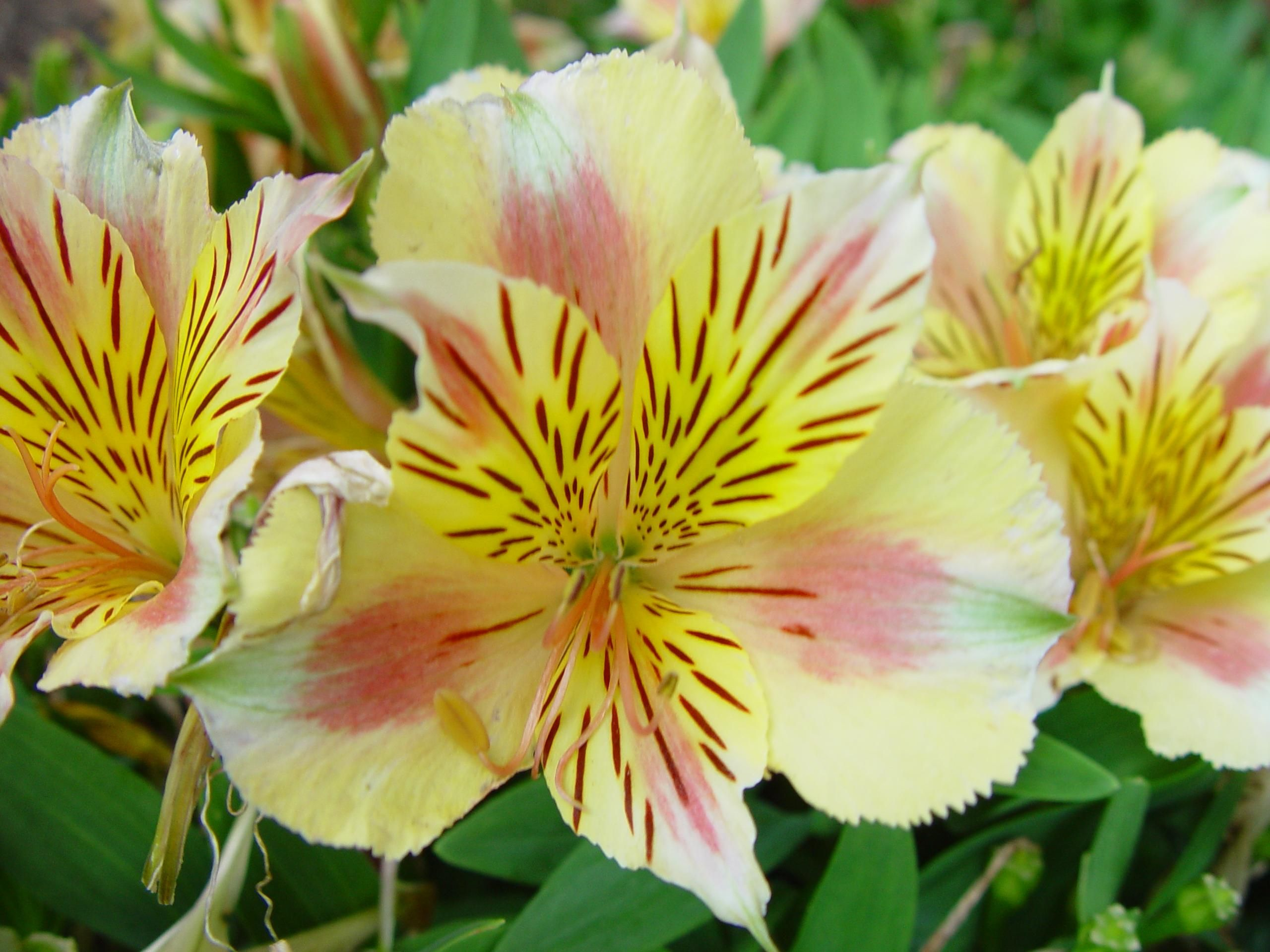Free picture yellow pink day lily yellow pink day lily izmirmasajfo Images