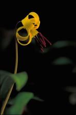yellow, trout, lily, flower, erythronium, Americanum