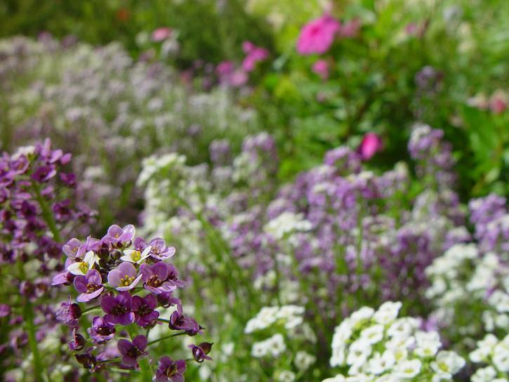 little, white, purple flowers, background