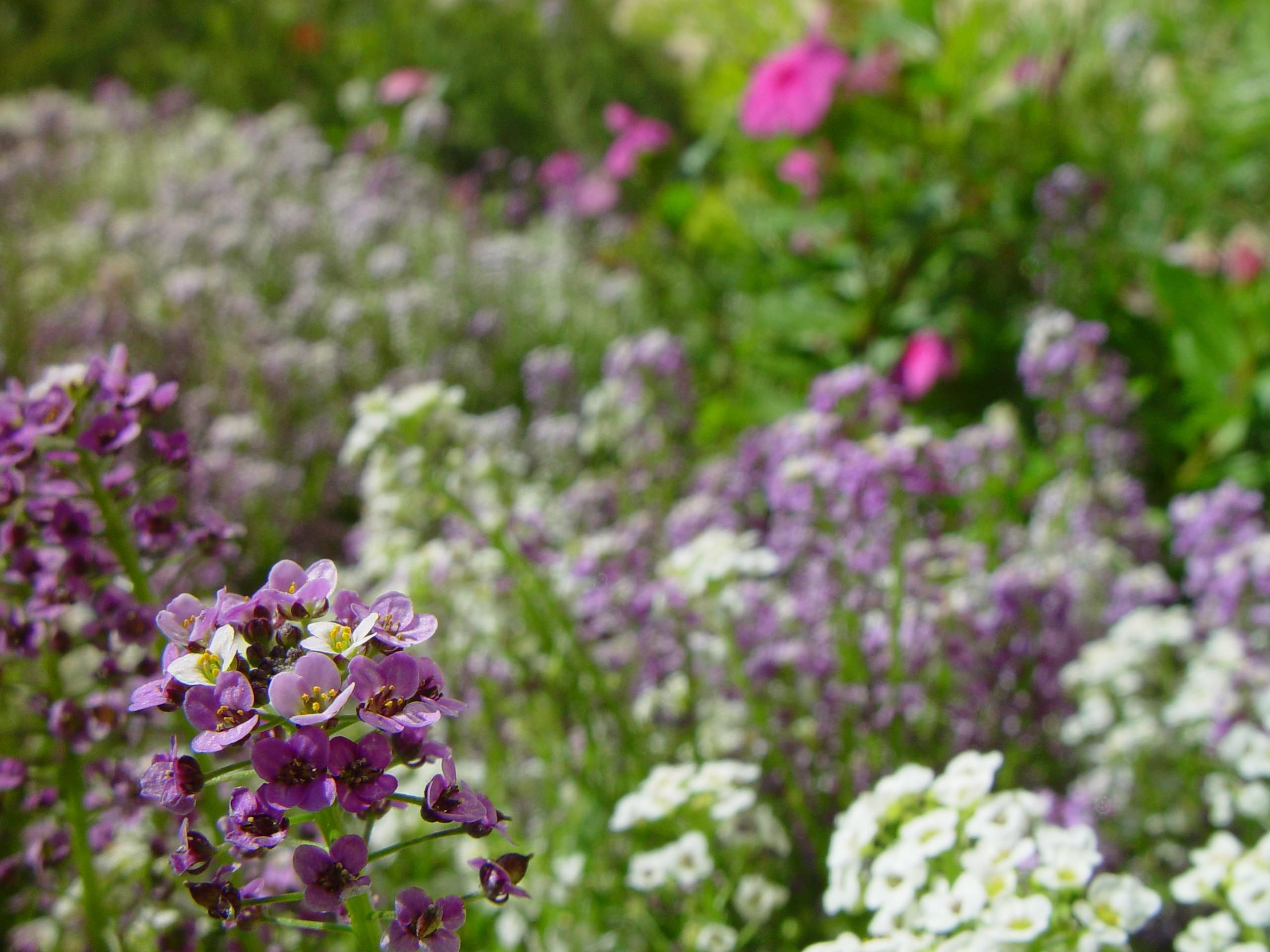 Free Picture Little White Purple Flowers Background
