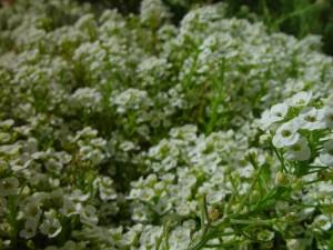 little, white flowers, background
