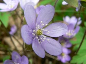 liverleaf, flower, macro