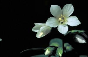 lovely, white flower, bloom, jacobs, ladder, polemonium, bruntiae