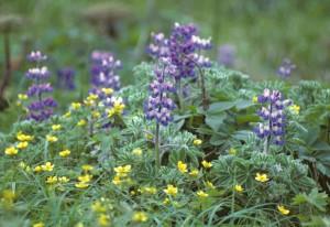 lupin, renoncule, fleurs, lupinus, nootkatensis, renoncules, Grandis