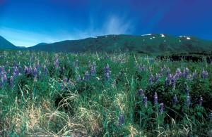lupine, flowers, fields, lupinus, nootkatensis