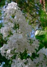 lupin blanc
