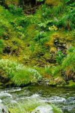 λούπινα, δάχτυλο, Κόλπος, creek, adak, νησί
