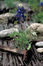 Lupinus, texensis, flori