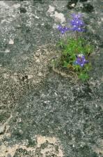 lupinus, texensis, lupinus, texensis, plante, sombres, fleurs bleues