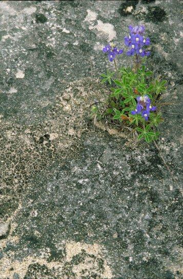 Lupinus, texensis, lupinus, texensis, φυτό, σκούρο, μπλε λουλούδια