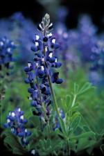 Teksas, bluebonnet, biljka, lupinus, texensis, tamno, plavo cvijeće, bijela, vrh