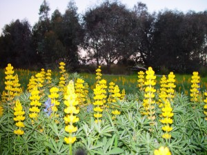 yellow, lupin, flowers