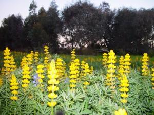 gul, lupus, blomster