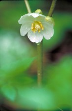 mayapple, plant, flower, podophyllum, peltatum