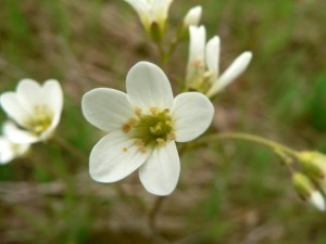 meadow, saxifrage
