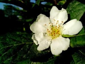 néflier, fleur