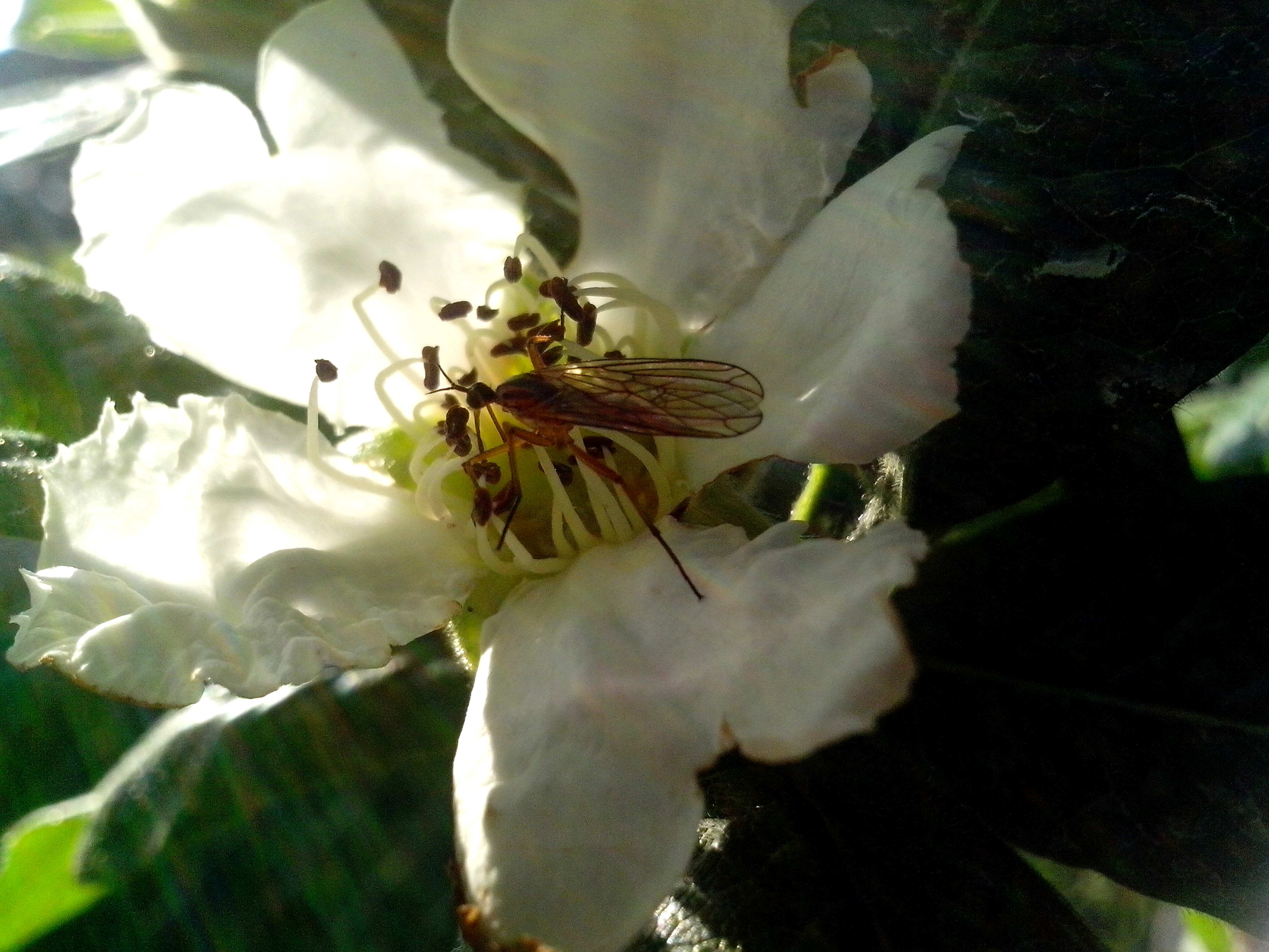 Free photograph; medlar, flower, small, insect