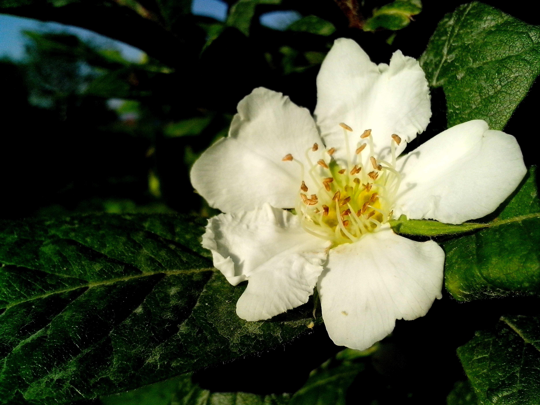 Free photograph; medlar, flower