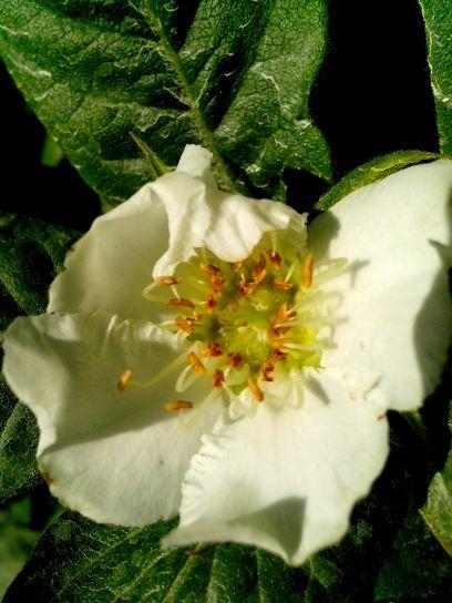 medlar, tree, flower