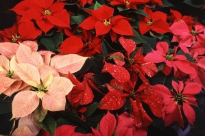 пъстри, Коледни звезди, червени цветя, листенца