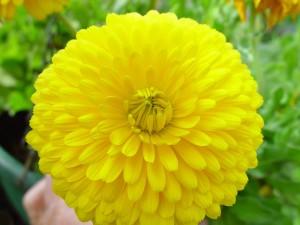giallo brillante, azalea, fiore