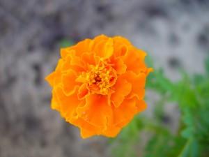 lysande, orange blommor, blommor