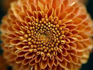 майките цвете, големите, жълти