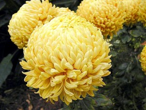 mums, several, flowers, yellow