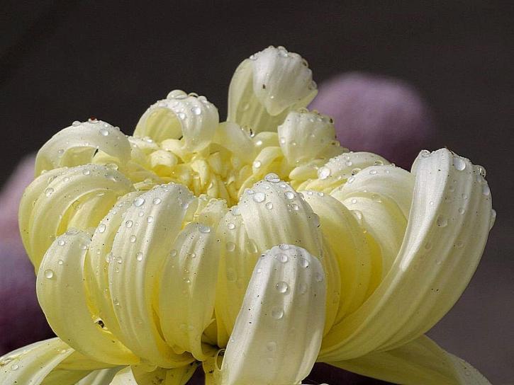 biele kvety, mamičky, rosy
