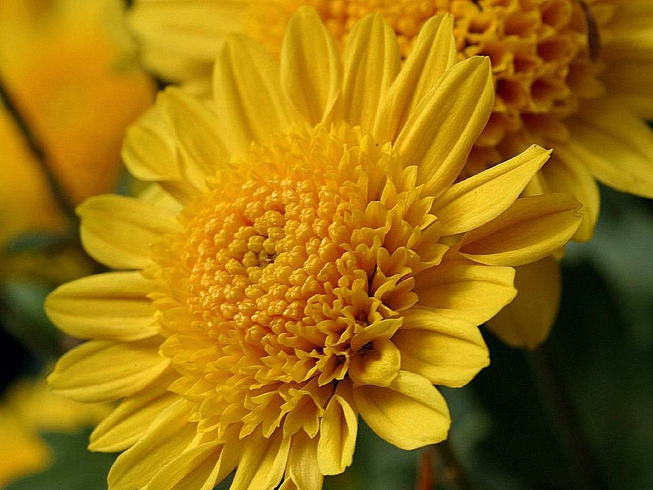 Free picture yellow mums flowers yellow mums flowers mightylinksfo