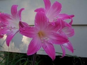 piękny, różowy kwiat, roślin, kwitnienie