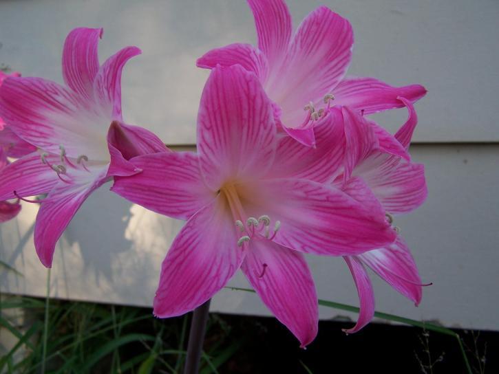 красиви, розово цвете, растение, цъфтящо