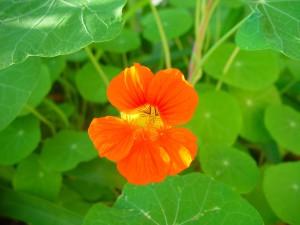 capucine, fleur, rayures, la lumière du soleil