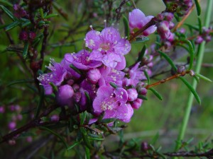 native, blossoms, wanneroo
