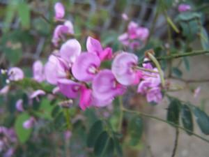 , Flor rosada nativa