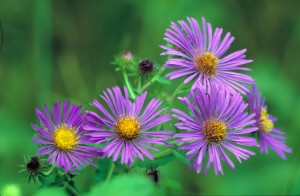 new, england, aster
